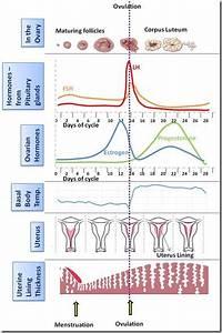 Female Hormonal Symphony Hormones Menstrual Cycle