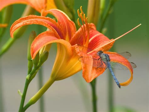 tiger lilies pictures orange tiger lily flower