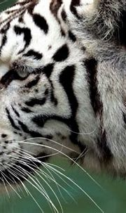 White tiger kills Japan zookeeper in rare attack | News24