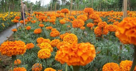 prospek budidaya bunga gumitir  menjanjikan petani top