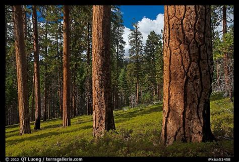 picturephoto ponderosa pine forest kings canyon