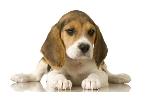 Dogs Beagles Puppies