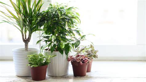 läuse auf zimmerpflanzen beliebte zimmerpflanzen egarden