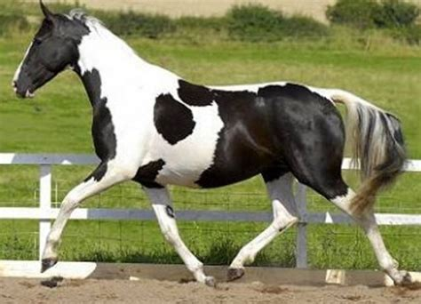 piebald horse yahoo image search results horses real