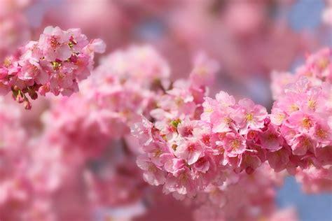 sakura  retina ultra hd wallpaper background image