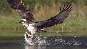An osprey fishing in spectacular super slow motion ...