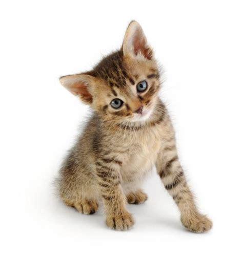 chaton tigr 233 craquant