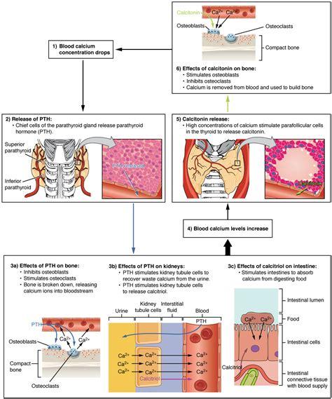 parathyroid glands voer