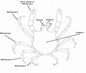 Brachyura  True Crabs  Of Bc