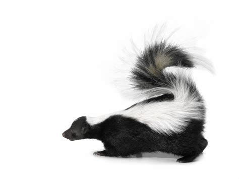 How To Remove Skunk Smell From Dog Chicago Tribune