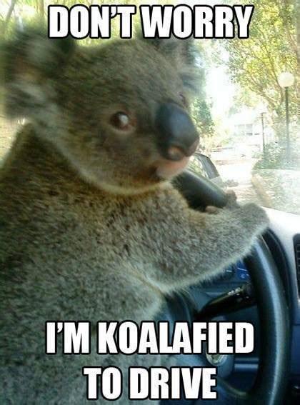 Koala Meme - koalafied koala meme