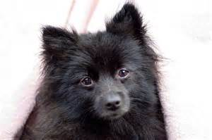 Pomeranian Husky Mix Puppy