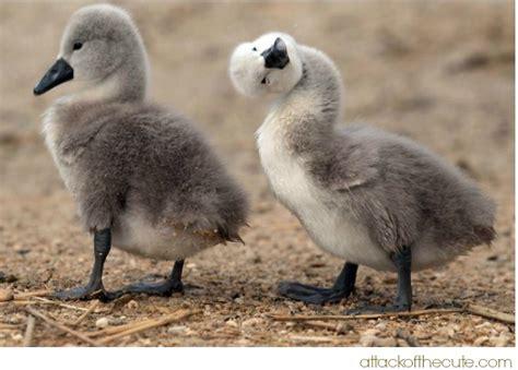goose symbolism goose spirit animal meaning