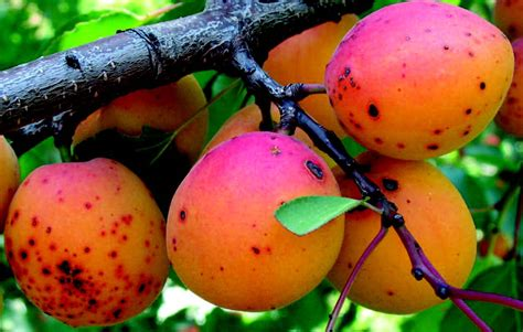 Wild Apricot - Global Trees