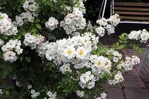 Wann Schneidet Man Rosen : wann rosen schneiden herbst wann rosen schneiden rose herbst schneiden herbst dekor ideen rosen ~ Eleganceandgraceweddings.com Haus und Dekorationen