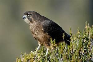 New Zealand falcon   New Zealand Birds Online  Falcon