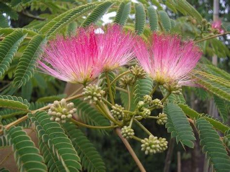 alberi con fiori rosa alberi da fiore piante da giardino caratteristiche