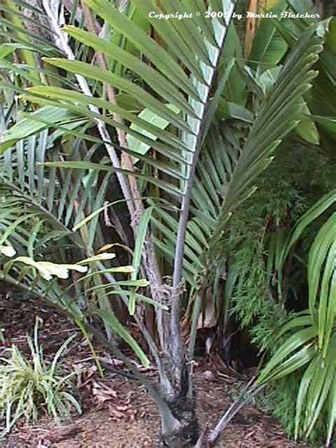 arenga engleri dwarf sugar palm california gardens