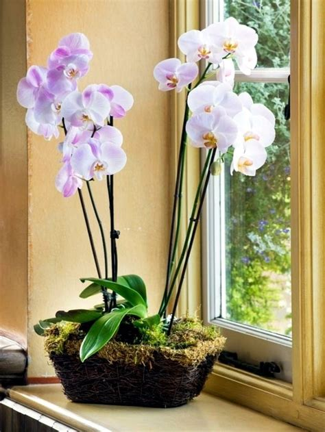 coltivare orchidee in vaso orchidee in vaso orchidee coltivazione orchidee in vaso