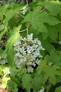 little honey hydrangea Little Honey Hydrangea (Hydrangea quercifolia 'Little Honey') in Burlington Waterdown Dundas ...