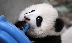 Is this the cutest panda ever? Newborn bear reaches out to ...