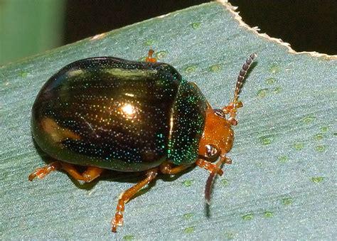 metallic green acacia beetle calomela ruficeps