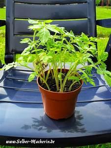 Wann Tomaten Pflanzen : die besten 25 tomaten pikieren ideen auf pinterest tomatensorten wann ist fr hling und ~ Frokenaadalensverden.com Haus und Dekorationen