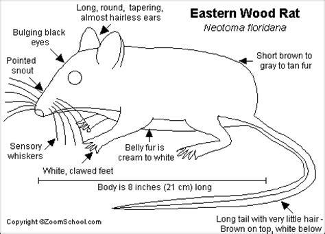 Guinea Pig Diagram Label by Rat Printout Enchantedlearning