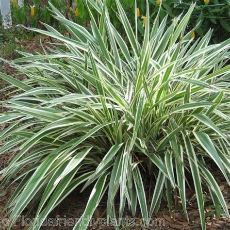 34 best fl liriope mondo grass and flax images on