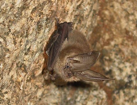 top 28 expectancy of bats long legged bat life
