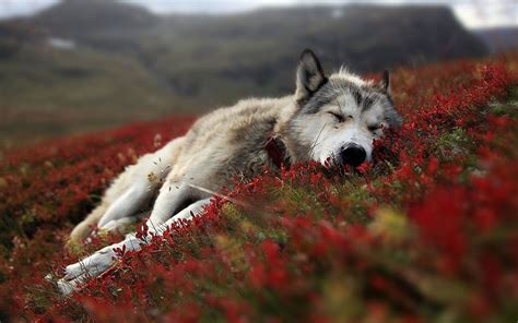 Wolf Wallpaper by Wolf Hd Wallpaper 77 Images