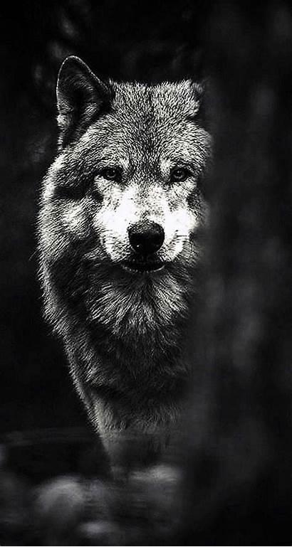 Wolf Iphone Wallpapers Phone Wallpapertip