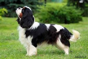 Cavalier King Charles Spaniel Tricolor - Pictures ...