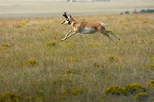 Pronghorn Do the Strangest Things - Ron Spomer Outdoors