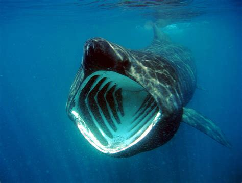 the gallery for gt what do basking sharks eat