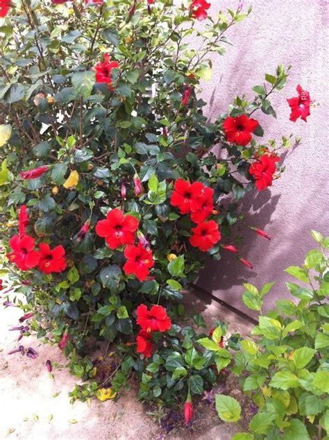 plantfiles pictures tropical hibiscus brilliant
