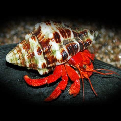 bernard l hermite aquarium eau douce bernard l hermite coenobita perlatus l univers aquatique