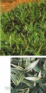 Bambus Als Zimmerpflanze : bambus sasa masamuneana albostriata ~ Eleganceandgraceweddings.com Haus und Dekorationen
