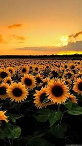 sunflower field backgrounds hd wallpapers desktop