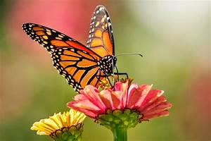 Monarch Butterflies On West Coast Face Extinction