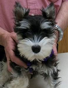 1000+ images about black and silver schnauzers on ...
