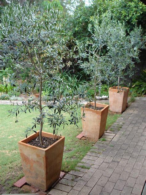 comment planter un olivier en pot ou en pleine terre