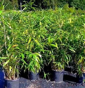 Bambou En Pot Pour Terrasse : bambou en pot pour terrasses et balcons acheter v g taux ext rieurs ~ Louise-bijoux.com Idées de Décoration