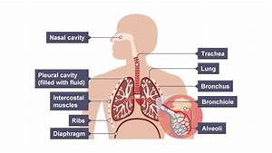 An Illustration Showing The Elements Involved In Breathing