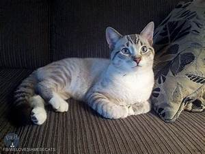 Lynx Point Siamese Cats have well-defined stripes around ...