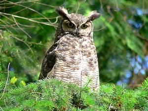 Great Horned Owl — Edmonton & Area Land Trust