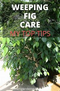 How To Care For A Weeping Fig  Ficus Benjamina