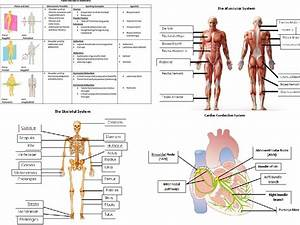 Aqa A Level Pe Anatomy And Physiology Worksheets And