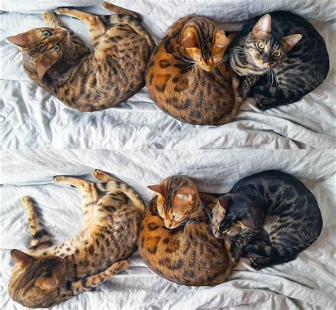 bengals colors bengal cat colors and patterns visual guide