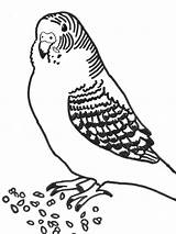 Coloring Printable Budgie Parakeet Pages Bird Parakeets Drawing Printablee Number Getdrawings Via sketch template